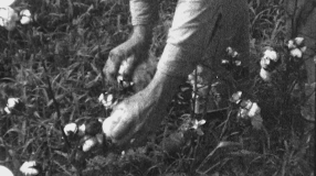 hands-of-man-picking-cotton-field-farm-worker-1930s-vintage-film-home-movie-8805_rv4n2rvaw__F0010